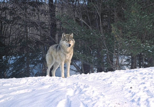 Lone timber wolf