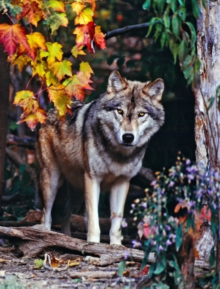 Timber wolf in fall