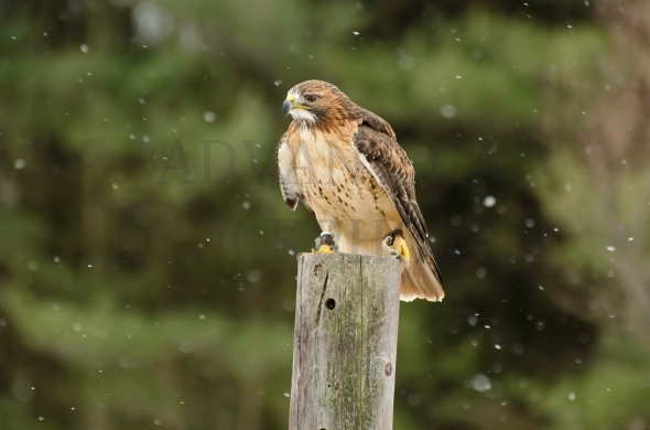 Red Tail Hawk in winter