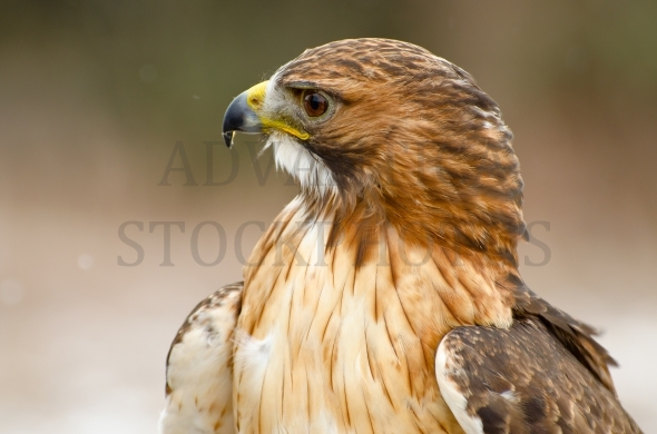 Ferruginous hawk – profile portrait