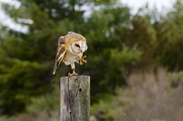Dancing barn owl