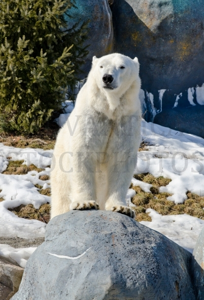 Polar bear on a rock