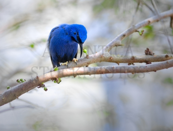 Redlegged honeycreeper bird perched on branch