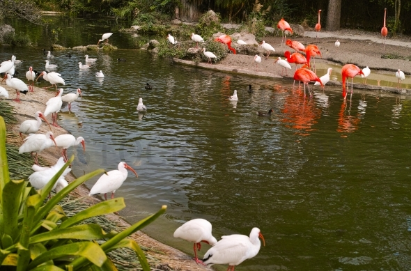 Pink flamingos and white ibis birds at pond