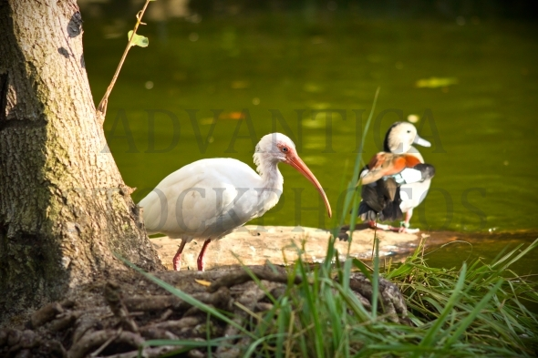 White Ibis bird and a duck