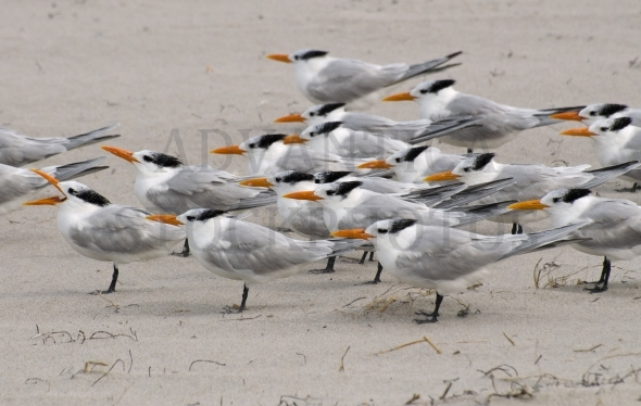 Flock of royal terns on beach