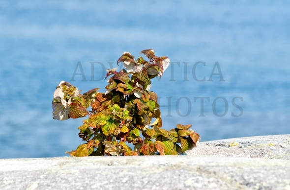 Dry wild raspberry plant on a rock
