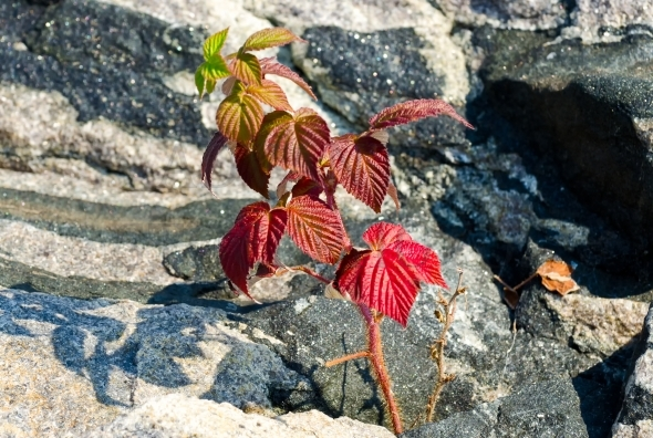 Wild raspberry plant growing between rocks