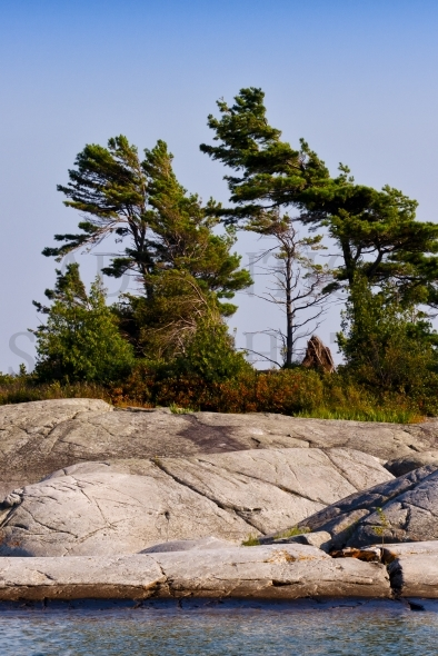 Windswept pines of Georgian Bay