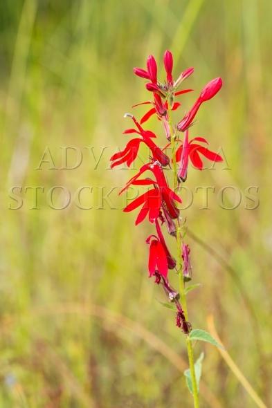 Bright Red Cardinal Flower  Lobelia cardinalis
