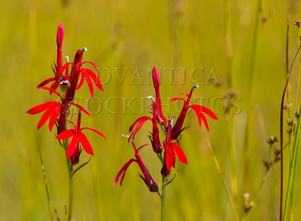 Two Red Cardinal Flowers / Lobelia cardinalis