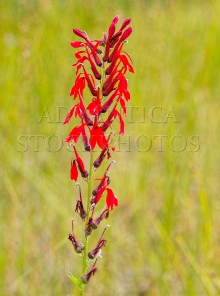 Scarlet Red Cardinal Flower Lobelia cardinalis