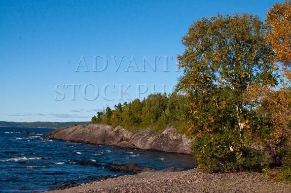 Birch tree in fall on shore of Lake Superior