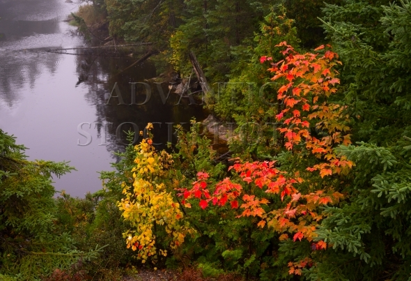 Maple tree with red colored leaves at a lake