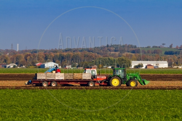 Tractor picking up onions from the field
