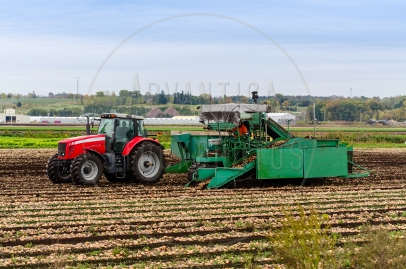 Men operating tractor and onion harvester