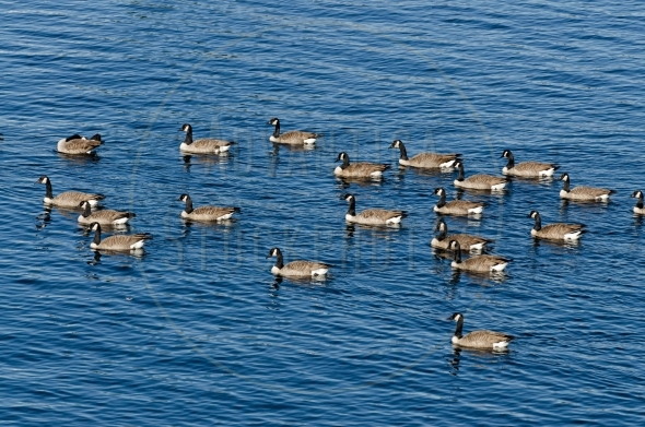 Flock of Canada geese swimming in the lake