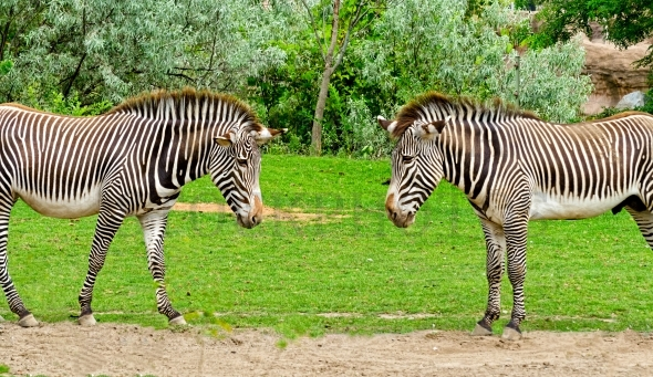 Two Zebras – Stock image by Les Palenik