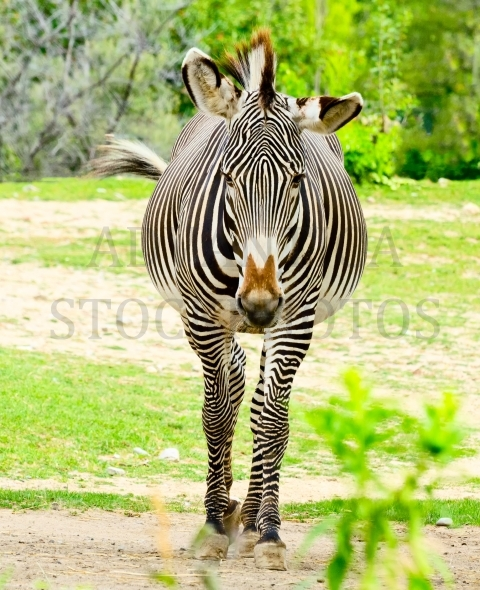 Zebra Frontal view – Stock image by Les Palenik