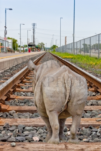 Rhinoceros on railway track