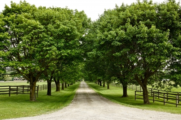 Country lane lined with mature trees