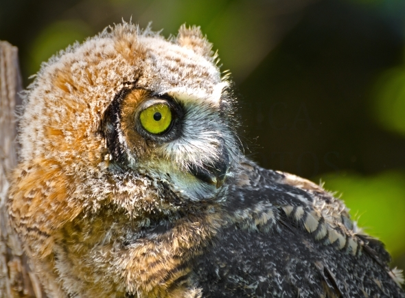 Great Horned Owl / Young Owlet