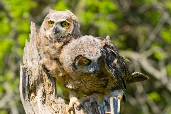 Great Horned Owl / Young Owlets