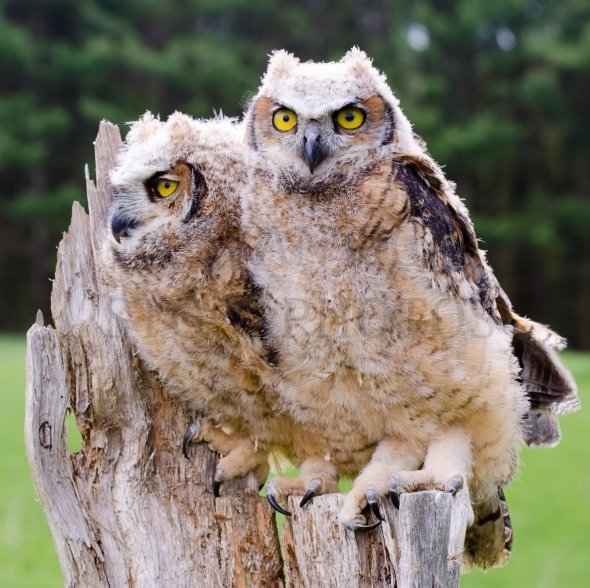 Great Horned Owl / Owlets