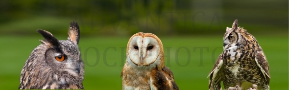 Three owls in panoramaic format