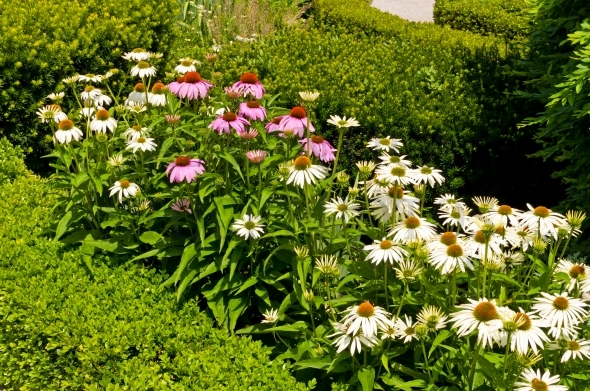 Pink and white coneflowers