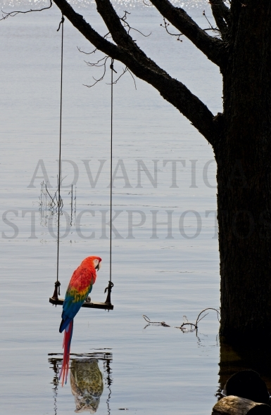 Parrot on a swing